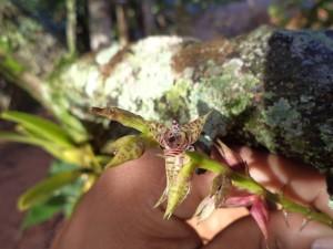 Bulbophyllum meridense Rchb.f. - Foto: Gleidison Lima