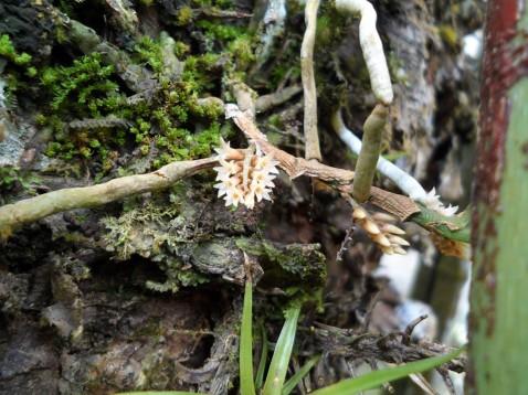 Campylocentrum linearifolium Schltr. ex Mansf.