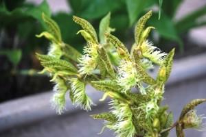 Catasetum barbatum (Lindl.) Lindl.
