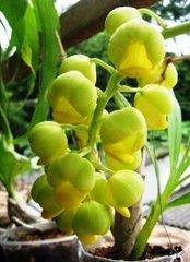 Catasetum hookeri Lindl.