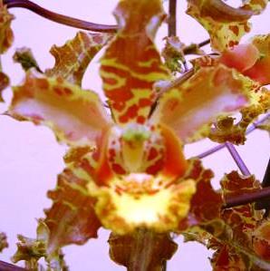 Cyrtopodium cf. holstii L. C. Menezes