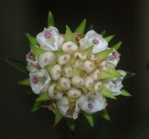 Elleanthus brasiliensis Rchb.f.