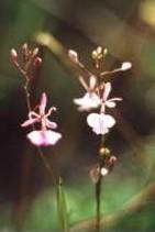 Epidendrum saxatile Lindl.