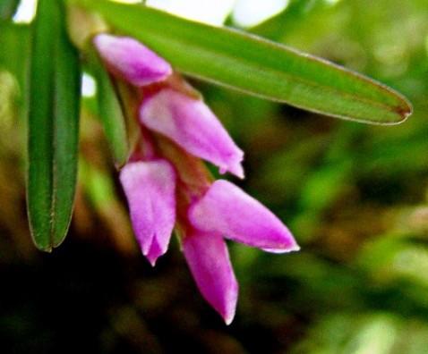 Isochilus linearis (Jacq.) R. Br.