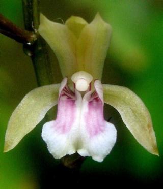 Oeceoclades maculata (Lindl.) Lindl.