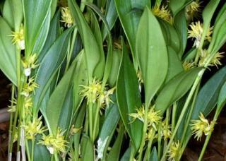 Pleurothallis ruscifolia (Jacq.) R. Br.