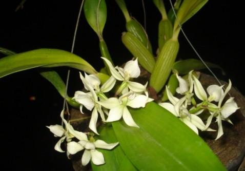 Prosthechea fragrans (Sw.) W. E. Higgins
