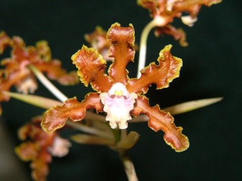 Laelia gloriosa Rchb. f.