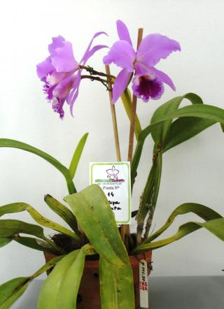 Cattleya labiata Lindl.
