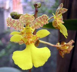 oncidium-cebolleta.jpg