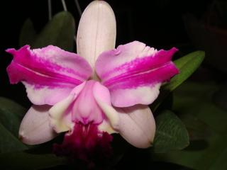 cattleya-intermedia-flamea.jpg