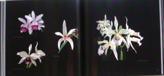 orquideas-brasileiras-02.JPG