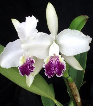 orquidario-santa-barbara-03-c-lueddemanniana-caerulea.JPG