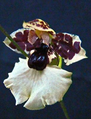 maria-rita-carenidium-dasystyle.jpg