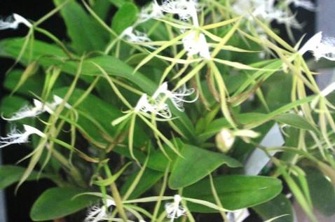 Espécie Brasileira – 2º lugar – Epidendrum ciliare – Italo Gurgel – ACEO