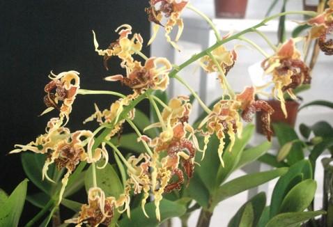 Premiação 05 – Espécie Estrangeira – 2º lugar – Dendrobium spectabile – Teresinha de Jesus Gomes – ACEO
