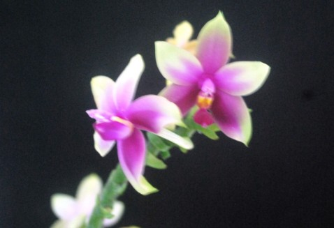 Premiação 06 – Espécie Estrangeira – 3º lugar – Phalaenopsis violacea – Edmilson Costa – ACEO