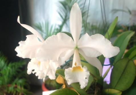 Premiação 10 – 1º lugar – Cattleya labiata var. alba – Carlos Neves – CPO