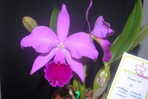 Premiação 11 – 2º lugar – Cattleya labiata var. rubra – Italo Gurgel – ACEO