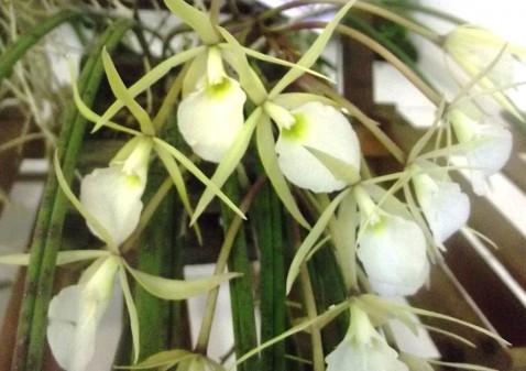 Brassavola tuberculata.