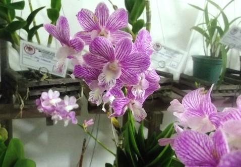 Dendrobium phalaenopsis híbrido.