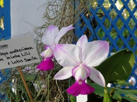 Cattleya walkeriana fantasia