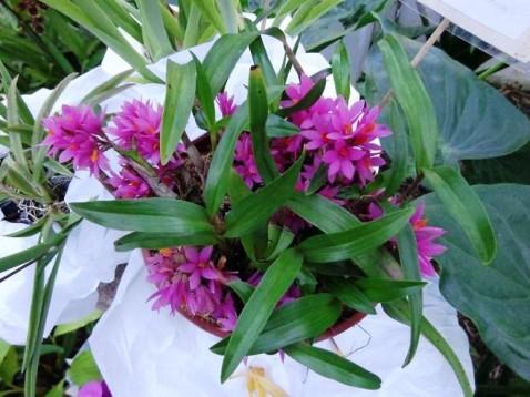 Dendrobium Hibiki