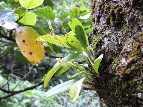 Anathallis sclerophylla (Lind.) Pridgeon & M.W.Chase