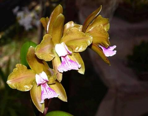 """Cattleya granulosa, nativa do Rio Grande do Norte, premiada com o troféu """"Igara Guerra 2014"""". Cultivo: Edinho."""