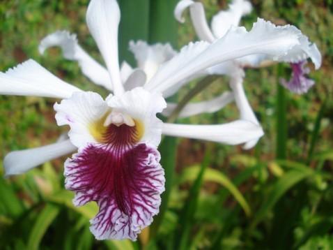 Laelia crispa, uma das dezenas de espécies que deverão ser expostas.