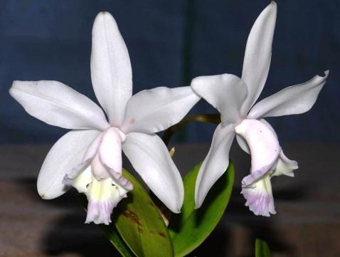 Cattleya claesiana (C. intermedia caerulea x C. loddigesii caerulea).