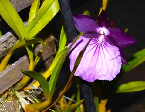 Miltonia spectabilis var. moreliana, 1o. lugar na categoria Espécie Nacional.
