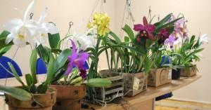 Mesa de belas orquídeas - espécies e híbridos - enfeitou o ambiente da Assembleia.