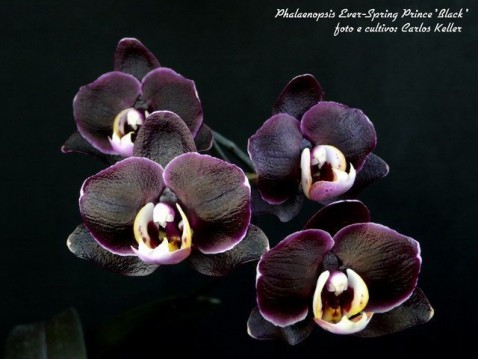 22) Phalaenopsis (Dtps.) Ever-Spring Prince 'Black', 01 (ID) 2008