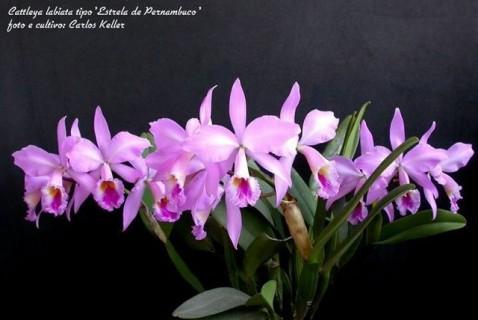 24) Cattleya labiata tipo 'Estrela de Pernambuco', 05 (ID) 2008