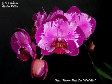Phalaenopsis (Dtps.) Taiwan Red Cat 'Red Cat'. (Cultivo e foto: Carlos Keller - RJ)