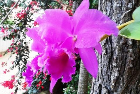 Cattleya labiata