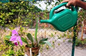 A Cattleya agradece sua ração de água, mesmo que em doses contidas. (Foto: I.Gurgel)