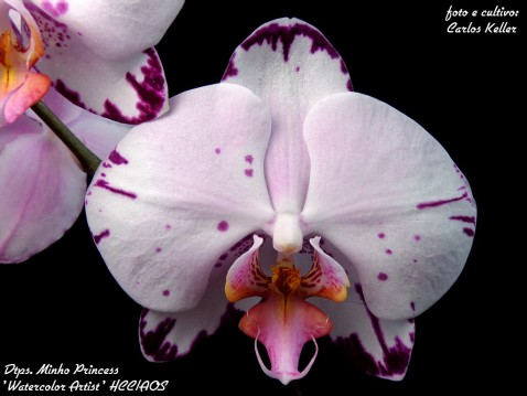Phalaenopsis (Dtps.) Minho Princess 'Watercolor Artist' HCC.AOS - Keller 02