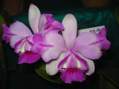 Cattleya intermedia var. flamea