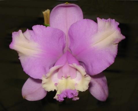 Cattleya loddigesii var. peloriada