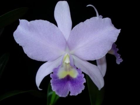 Cattleya Portia var. caerulea 'Baronesa'