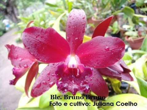 Blc. Nobile's Bruno Bruno