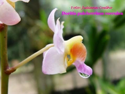 Dorotis pulcherrima caerulea