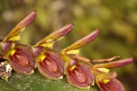 Acianthera macropoda