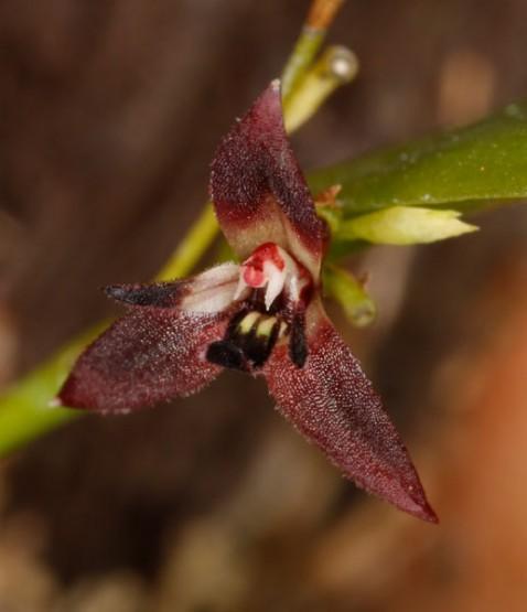 Anathallis modesta