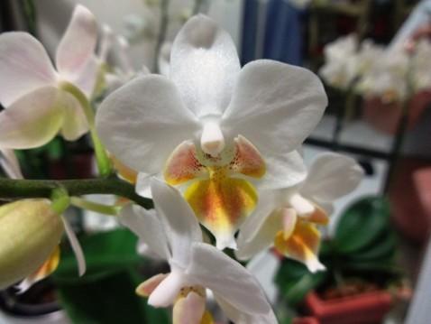 Phalaenopsis alba com realce para o labelo.