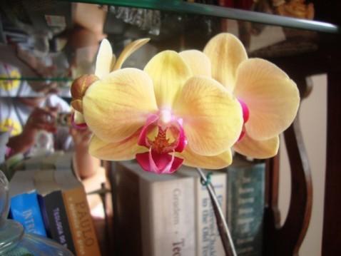 Phalaenopsis amarela com labelo vermelho.