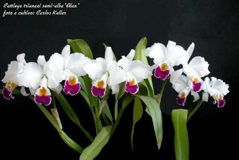Cattleya trianae semialba 'Alan' (Cultivo e foto: Carlos Keller - Rio de Janeiro)