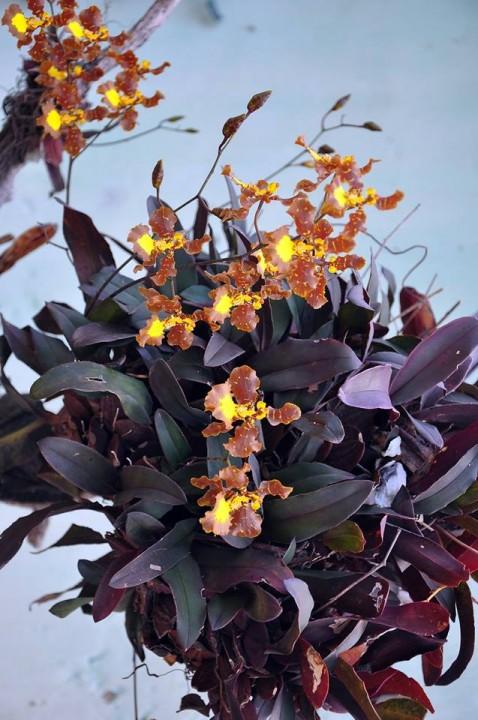 Uma das espécies agregadas há pouco ao checklist de orquídeas cearenses: Brasilidium gravesianum (Rolfe) Campacci - Ibiapaba - Fotos Antonio Sérgio e Leonardo Jarles
